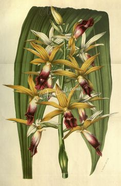 florida_orchids-00151 phaius grandifolius superbus ArtsCult.com Artscult ArtsCult vintage printable public domain 300 dpi commercial use 1800s 1700s 1900s Victorian Edwardian art clipart royalty free digital download picture collection pack paintings scan high qulity illustration old books pages supplies collage wall decoration ornaments Graphic engravings lithographs century 18th 17th Pictorial fabric transfer scrapbooking Paper craft