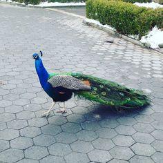 Peacock roaming free at the Prospect Park Zoo. Prospect Park Zoo, Peaceful Places, Peacock, York, Nature, Free, Animals, Naturaleza, Animales