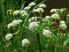 water hemlock = sudden death