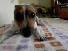 Hyperactive Jack Russel terrier after bath - YouTube
