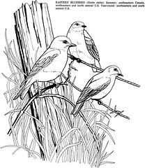 Birds Fun Kit Eastern Bluebird Coloring Page In 2020 Bird