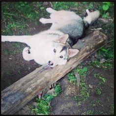 Husky wolf mix.. .Nietzsche deserves her own pin!