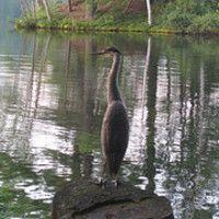 Great Blue Heron at Lake Vanare Cabins