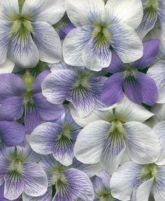 05601 Violets