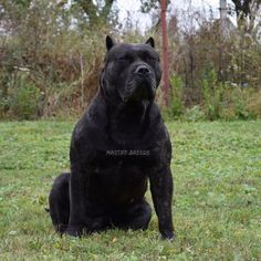 Discover The Dignified Big Mastiff Dogs Personality Beautiful Dogs, Animals Beautiful, Amstaff Terrier, Pitbulls, Rottweilers, Mastiff Dogs, Mastiff Breeds, Cane Corso Dog, War Dogs