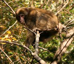 Macaca fuscata in Mount Tado