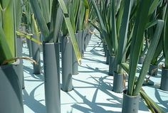 You can grow Leeks through Hydroponic method. Click image to see how...