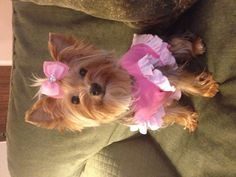 Yorkie puppy! I want one sooo bad and she would always be dressed up!!!!