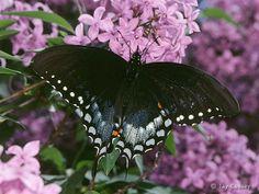 Spicebush_Swallowtail