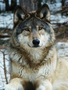 Gray Wolf--Wolves Photo