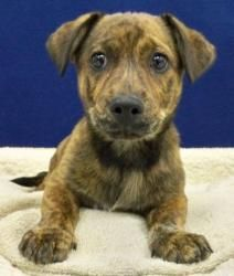 Mario is an adoptable Catahoula Leopard Dog Dog in Nashville, TN. Breed: Male, Brindle Catahoula Mix, 7 lbs Age: 2 months...  Metro Animal Care and Control   5125 Harding Place   Nashville, TN 37211