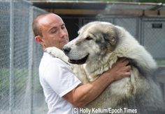 Epoch Times Photos - MaxoMagic Central Asian Shepherd Kennel Epoch Time, Time Photo, Bullies, Akita, Continue Reading, Cas, Dog Breeds, Dog Lovers, Husky
