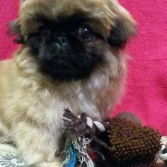 Pekingese-little Simba 8 weeks and unwanted. ..Please contact peke rescue SA...if you want to adopt this precious baby.