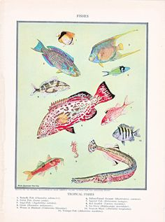 vintage fish print 'Tropical Fish'  by Helen by Route44West