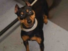 RETURN!! MOVEPRIVATA SAFE 5/13/15 SUPER URGENT Manhattan Center TOBY – A1035744 ***RETURNED 01/26/17*** NEUTERED MALE, BLACK / TAN, MIN PINSCHER, 6 yrs OWNER SUR – ONHOLDHERE, HOLD FOR ID Reason MOVE2PRIVA Intake condition UNSPECIFIE Intake Date 01/26/2017, From OUT OF NYC, DueOut Date 01/26/2017