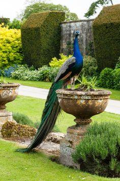 "nordicsublime: "" The Sudeley Pheasantry "" Proud as a peacock @pinterestluxury #Luxurydotcom"