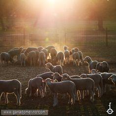 Corderos de merino Cow, Elephant, Faith, Animals, Lamb, Cattle, Animales, Animaux, Elephants