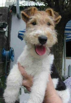 My first Wired Haired Fox Terrier; Miss Taffy McTwist! Such a sweet girl!