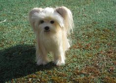 Needle felted Morkie - used real fur from the actual dog, Etsy, GourmetFelted