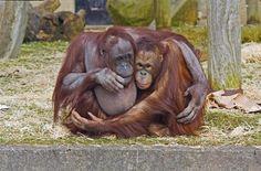 Orangutans cuddle (© Rex Features/FOTODOM.RU)