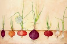 The onion is a biennial herbaceous plant, it's one of the numerous members of the Liliaceae family. Allium cepa, commonly known as the onion, originated in Western Asia, reference to it is found in documents and ancient Egyptian archaeological findings dating back to three thousand years ago.
