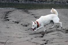 Fionna, a Kishu Ken, enjoys her time on Cedar Island, Oregon.
