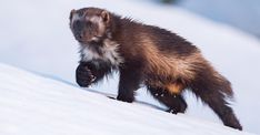 A thousand feet below my perch on the cliffs, I see movement on the glacier. I raise my telephoto lens and watch as an animal runs across the blue ice, Wolverine Animal, Wolverine Art, Wildlife Photography, Animal Photography, North American Animals, Wolf, Bear Cubs, Wolverines, Primates
