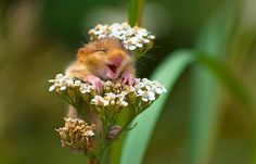 Photographer Andrea Zampatti has captured a photo of this adorable dormouse that appears to be very delighted. 'Quivering with glee, the little giggler threw back his head, thrust his whiskers in the air and let out a hearty chuckle.'