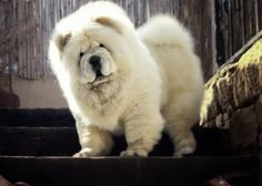 Chow Chow. Look at that Face. Inquisitive.