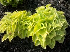 "Hosta 'HEART BROKEN'.  Height:  8"".  Width:  12"".  Leaf:  4"" by 3"".  Partial to full sun.  Soil:  Average to moist."