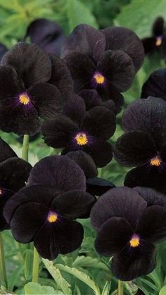 Black Flowers, Exotic Flowers, Amazing Flowers, Beautiful Flowers, Flowers Gif, Garden Plants, House Plants, Gothic Garden, Black Garden