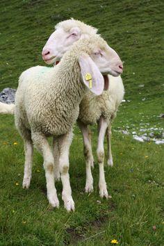 Zwei Schafe im Stubaital