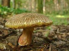 """Suchohřib žlutomasý """"babka"""" Slime Mould, Growing Mushrooms, Mushroom Fungi, Stuffed Mushrooms, Gardening, Mushrooms, Stuff Mushrooms, Lawn And Garden, Horticulture"""
