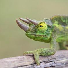 Camaleón de Jackson (Chamaeleo jacksonii), este de Africa, los machos tienen tres cuernos óseos frontales