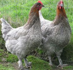 Copper blue Marans
