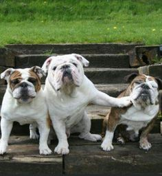 Funny pictures about Mean bulldog. Oh, and cool pics about Mean bulldog. Also, Mean bulldog. English Bulldog Pictures, Old English Bulldog, Cute Puppies, Cute Dogs, Dogs And Puppies, Doggies, Funny Dogs, Funny Animals, Cute Animals