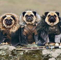 """Game of Thrones pugs-:.. I shall wear no crowns and win no glory. I shall live and die at my post. I am the sword in the darkness. I am the watcher on the walls. I am the shield that guards the realms of men. I pledge my life and honor to the Night's Watch, for this night and all the nights to come."""""""