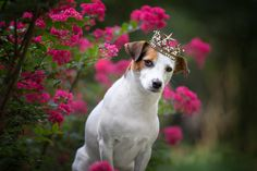 Show your support for Georgia Jack Russell Rescue, Adoption & Sanctuary by voting for Isis Maria S. in the For the Love of Dogs Calendar Contest