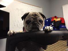 Working Pug Pugs, Pug Dogs, Pug, Pug Life