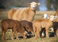 Visit the Arkansas Heritage Farm: Katahdin is a heritage breed of sheep.