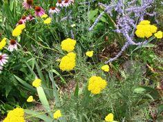 Yarrow (Achillea millefolium 'Asteraceae')