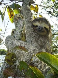 Sloths are medium-sized mammals that live in the Central and South American rainforests. The sloth got its name from its slow movement, it is not lazy, just slow-moving. The sloth is the slowest mammal on Earth. In total, there are six species of sloth. Smiling Sloth, Baby Sloth, Cute Sloth, Funny Sloth, Sloth Bear, Baby Otters, Animals Of The World, Animals And Pets, Cute Animals