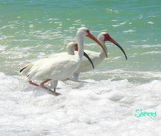 Sanibel island on pinterest florida randy wayne and conch for Whiting fish florida