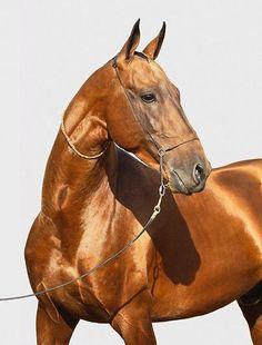 Akhal Teke horses