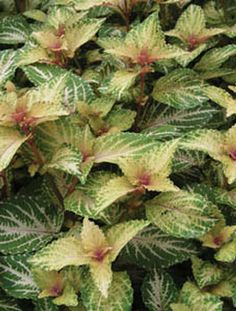 COLEUS 'AMORA' Butter colored leaves with scalloped edges and pink veins. Good container or houseplant.Plant & Nursery Library - Earl May
