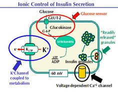 Glucokinase monitors blood glucose with insulin.