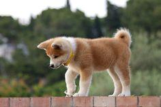 画像:秋田犬について ~性格や特徴~ Japanese Akita, Japanese Dogs, Horses And Dogs, Animals And Pets, Pretty Animals, Cute Animals, Cute Puppies, Dogs And Puppies, Japanese Dog Breeds