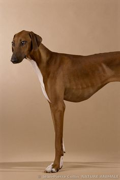 Photo of a Azawakh Hound