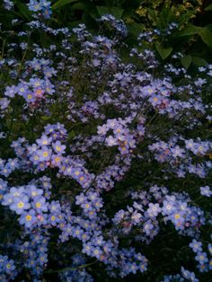 Forget-me-nots at dusk