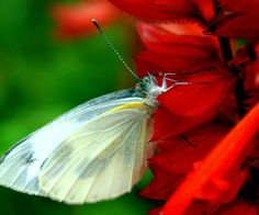 butterfl;y red flower